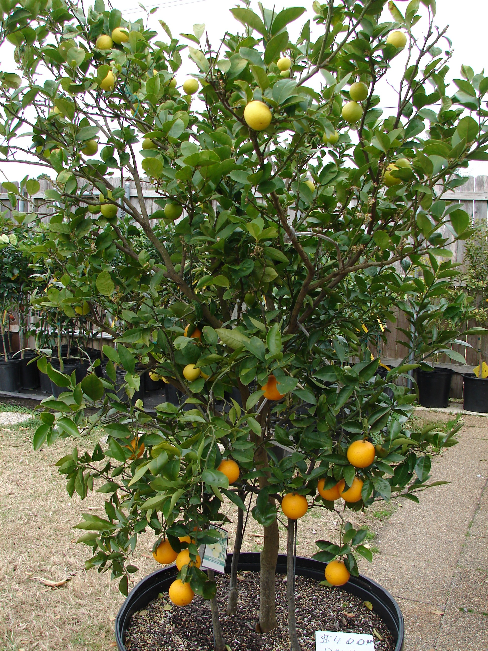 Citrus tree facts and info for Lemon plant images