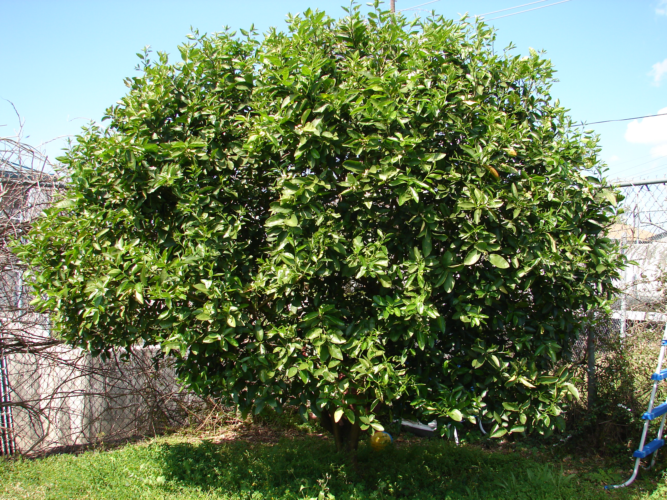 citrus tree facts and info