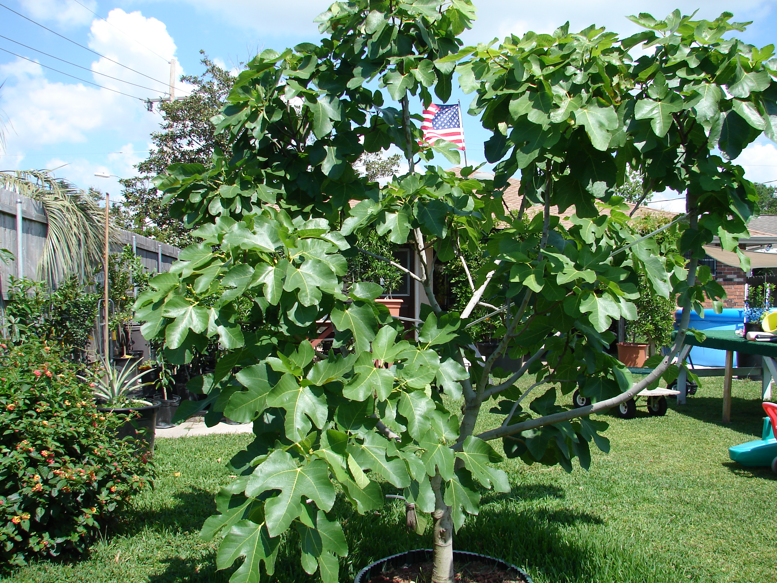 Dwarf Fig Tree
